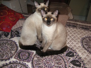 IMG_0857the siamese breed